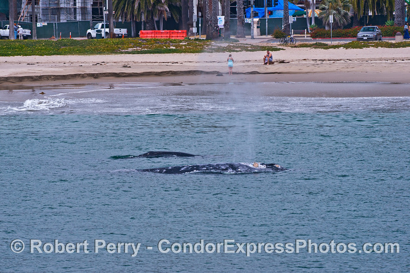 Mother gray whale and her calf very close to East Beach Santa Barbara