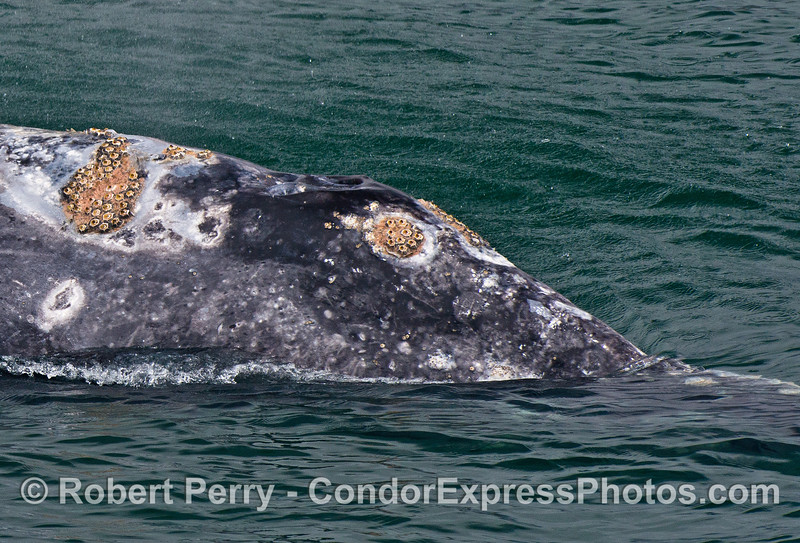 Very close look at the barnacles growing on the head of a gray whale