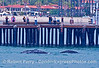 Mother gray whale and her calf visit Stearn's Wharf in Santa Barbara