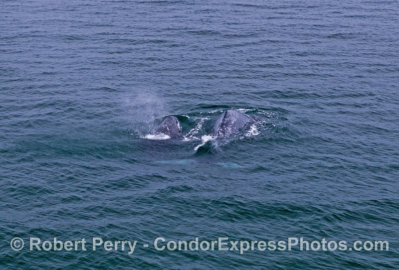 Mother gray whale (right) and here calf