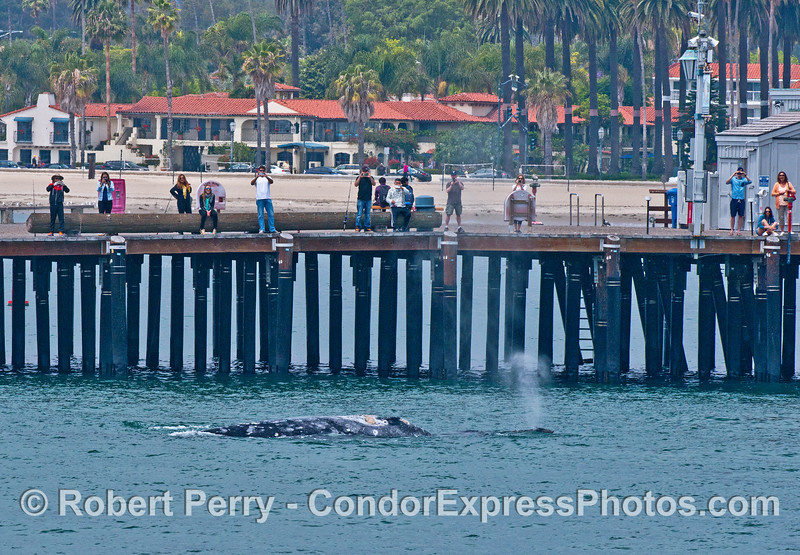 Mother gray whale and her calf close to Santa Barbara's Stearn's Wharf pier
