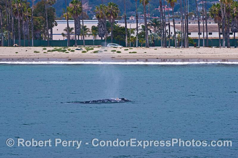 Gray whale spouting very close to Santa Barbara beach