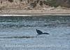 Tail fluke of a gray whale calf near the beach