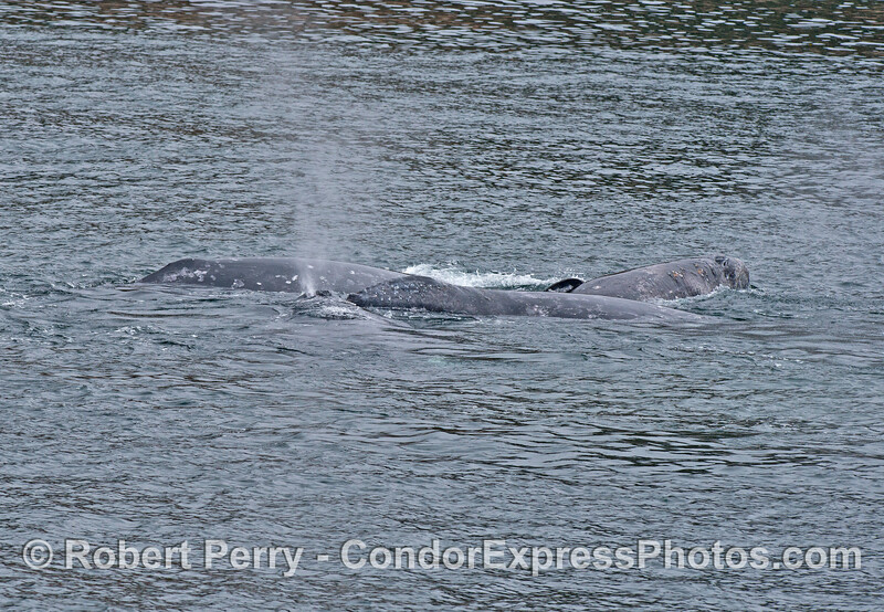 Four gray whales in close proximity - social hour at the beach