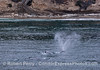 Three of the four gray whales are seen moving close to the beach