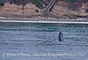 Near the 1,000 steps beach we see a mother gray whale and her spy-hopping calf close to shore.