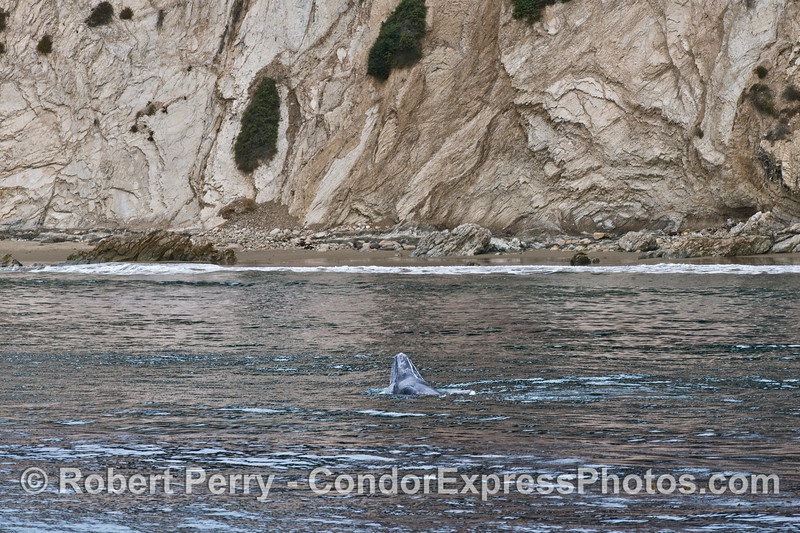 Water pours from the mouth of this upside down gray whale calf very close to the beach