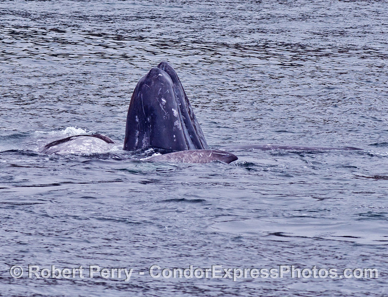 One spy-hopping calf shows its chin among the other 4 whales