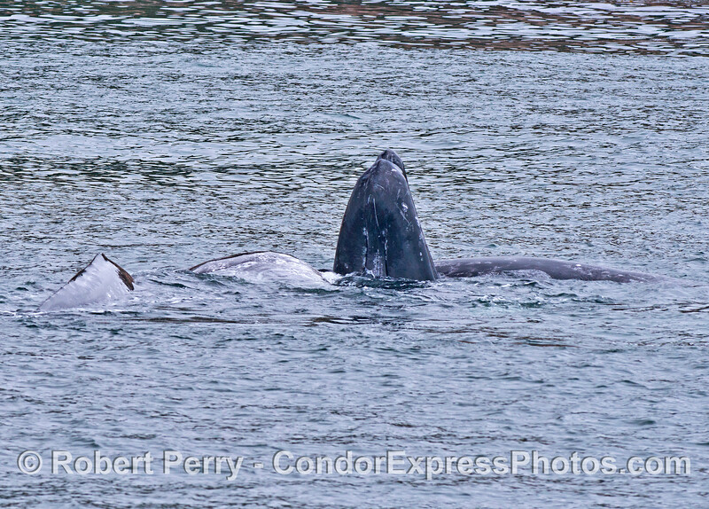 Four gray whales, two mothers with their calves, in tight together