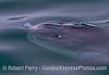 Mola mola feeding on Velella velella 2015 05-05 SB Coast-008