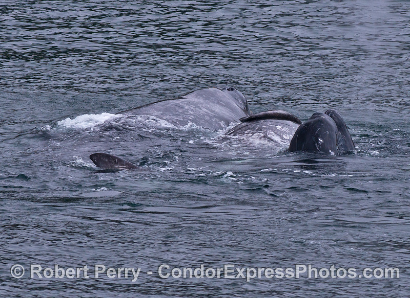A bundle of three gray whales.  My best guess is that, from left to right, it's a mother, a calf on its side, and another calf spy hopping with its chin facing us.