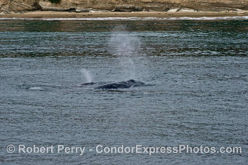 Mother gray whale and her calf near the shore