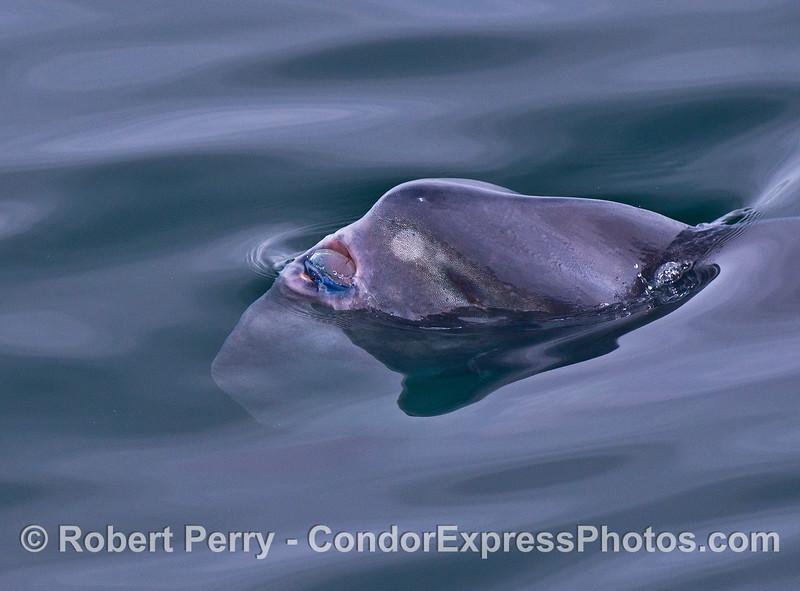 Mola mola feeding on Velella velella 2015 05-05 SB Coast-028