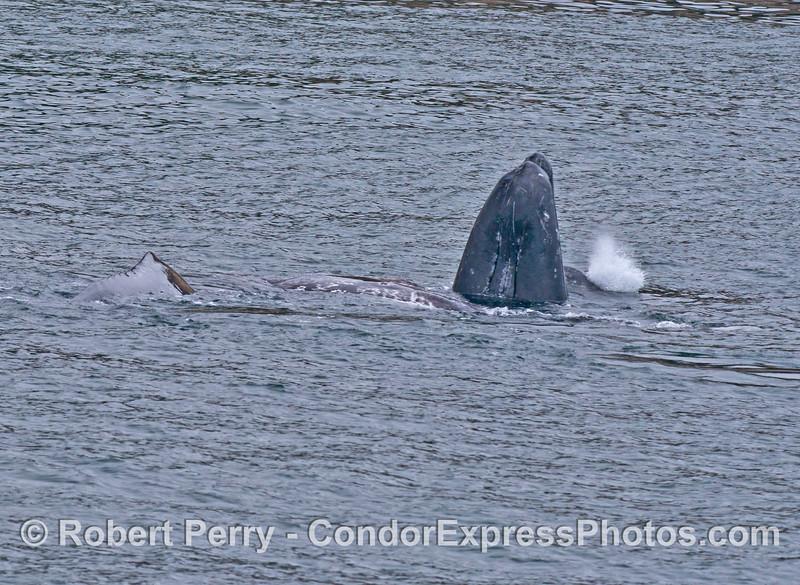 Cuatro ballenas grises para el cinco de mayo.