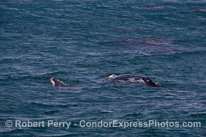 A mother gray whale and her calf