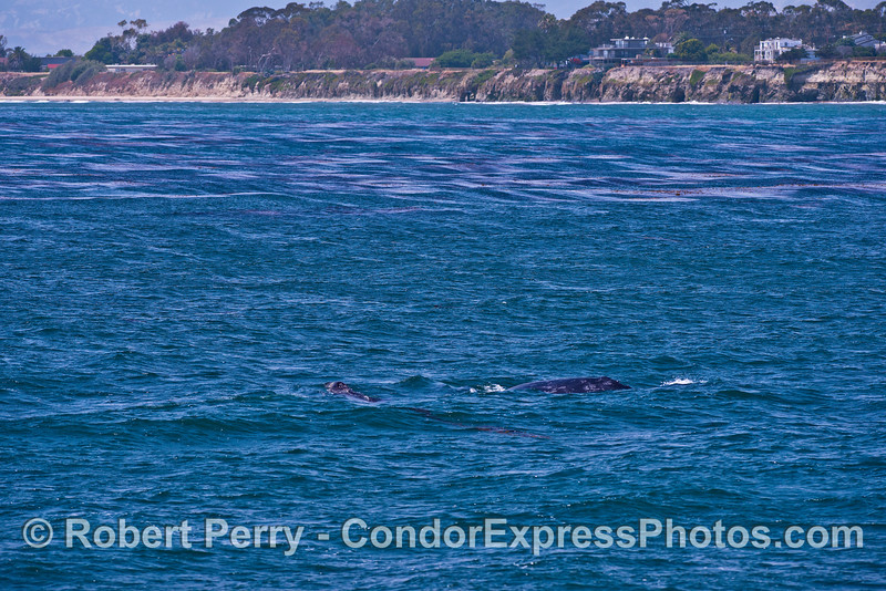 Wind roils the giant kelp at Isla Vista as a mother gray whale and her calf migrate northbound