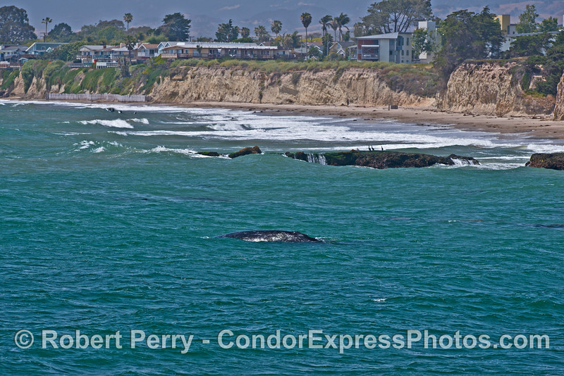 A mother gray whale and her calf near Campus Point UCSB