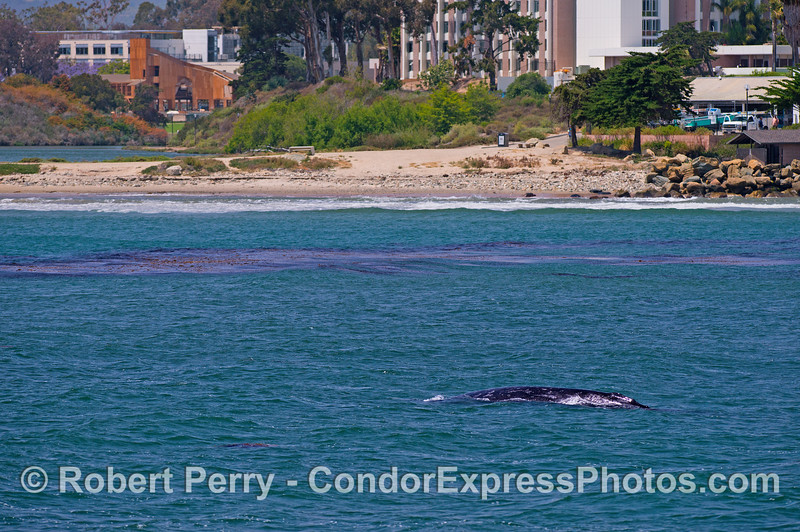 A mother gray whale and her calf get an education at UCSB