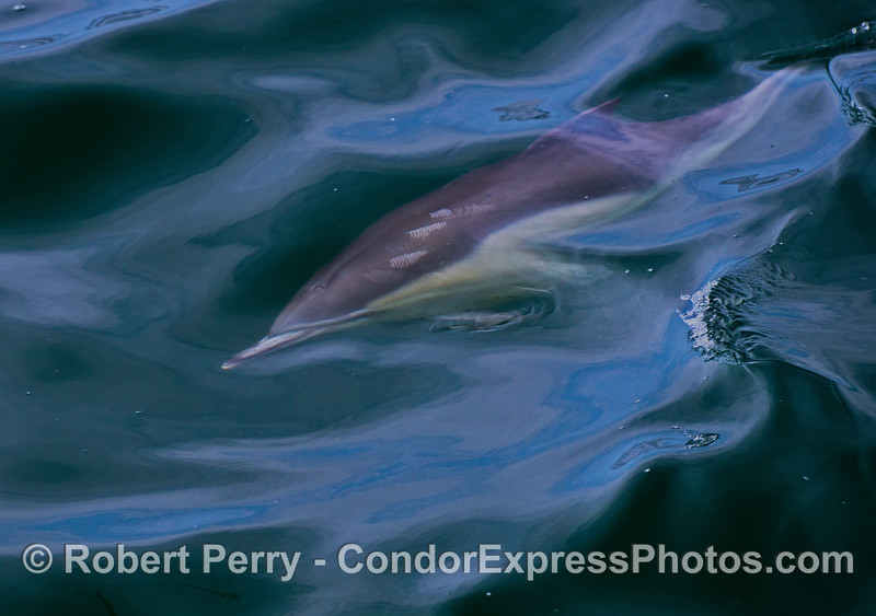 A long-beaked common dolphin glides beneath a shiny ocean surface