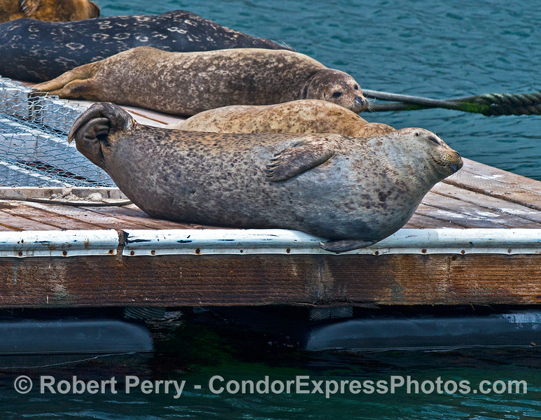 A plump harbor seal crosses its hind limbs and rests on the harbor bait barge