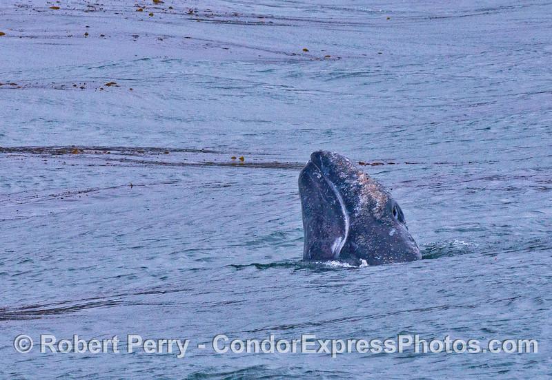 Gray whale spy hop near the giant kelp forest