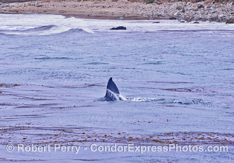Close to the beach, a gray whale calf slashes its tail through the giant kelp forest.