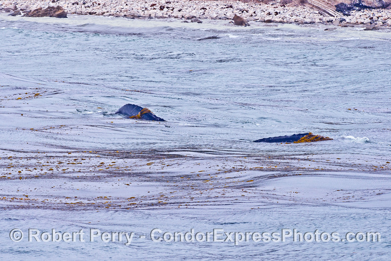 Two gray whale calves horse around in the giant kelp and are shown here with kelp on their backs.  Note also how close to shore the whales are.