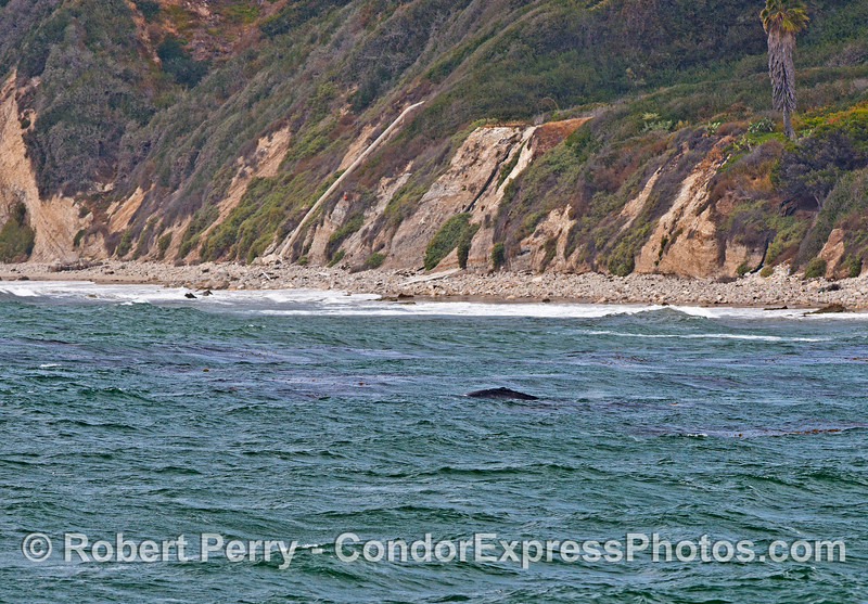 Gray whales at the beach on a windy day.
