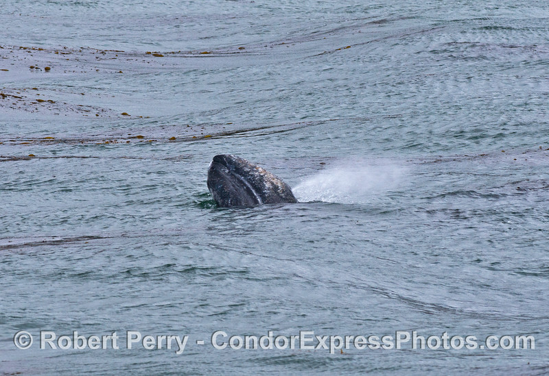 A gray whale calf spy hops and spouts at the same time.  Try this yourself in a swimming pool or bathtub.