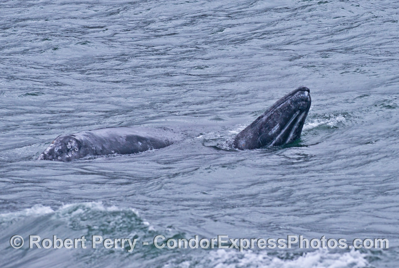 Two gray whales side-by-side.  One whale spy hops and shows us its chin with two ventral grooves.