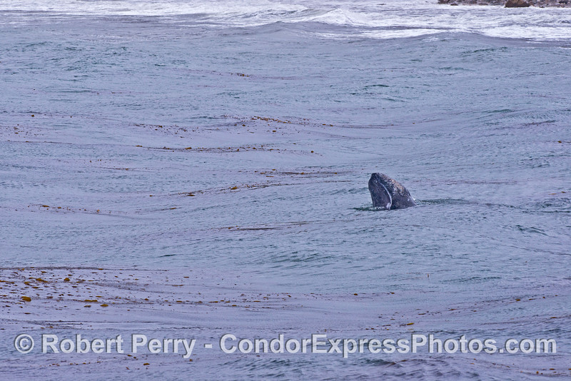 Gray whale spy hop - original wide angle image.  The next photo is an enlargement of this one to spotlight the whale.