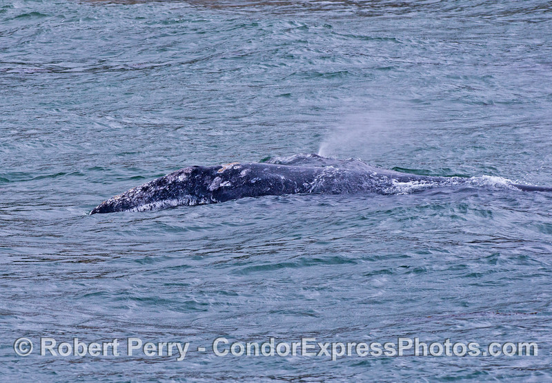 Mother gray whale and her calf