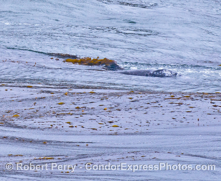Two gray whale calves cavort - one has giant kelp on it's head.