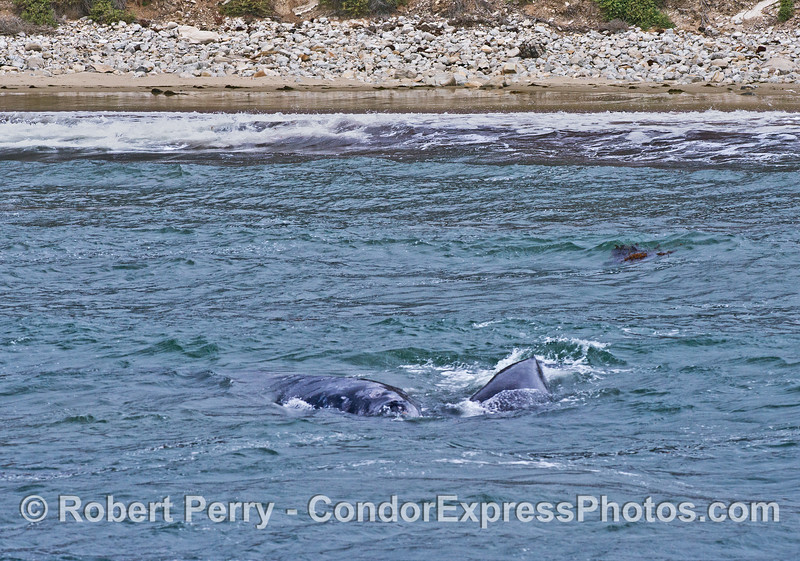 A mother gray whale and her calf head directly at the camera.