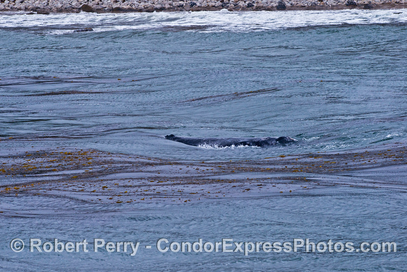 Waves roll through the giant kelp forest and across the back of this gray whale in shallow water.