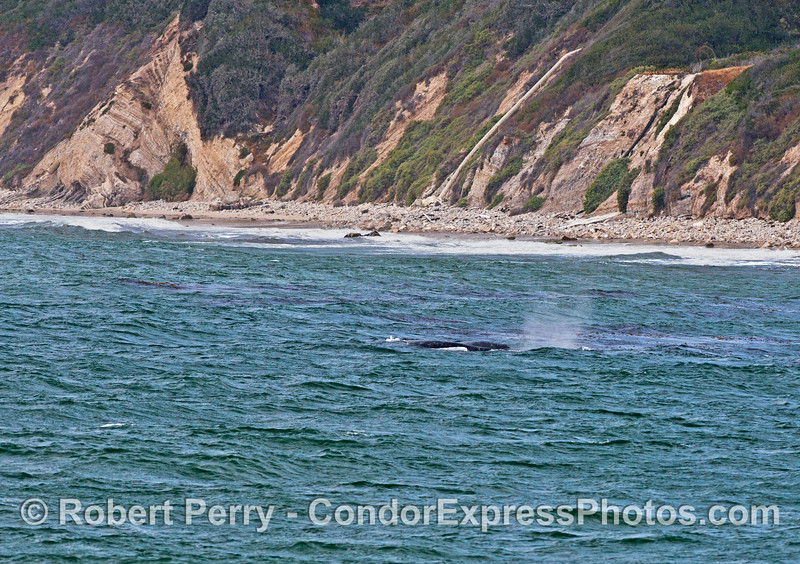 A windy day near the beach with gray whales near the kelp beds.