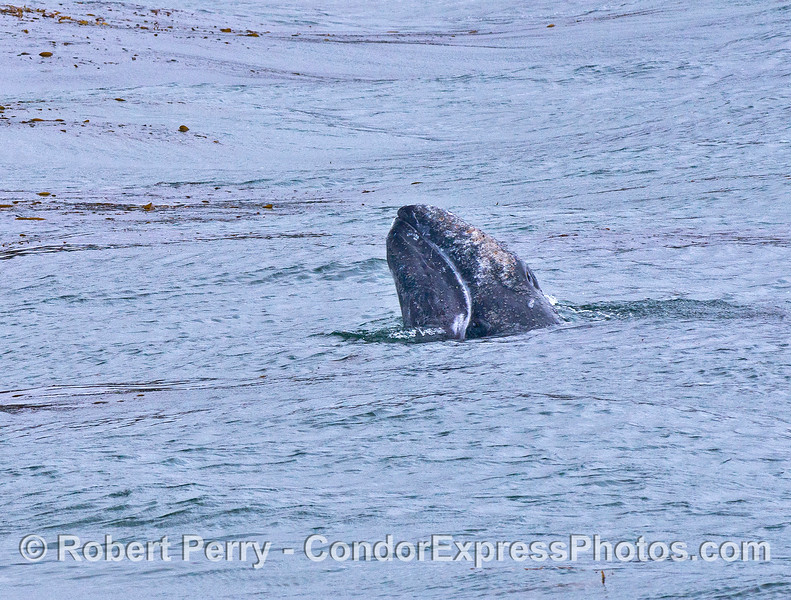 Gray whale spy hop - close up view of the previous image.