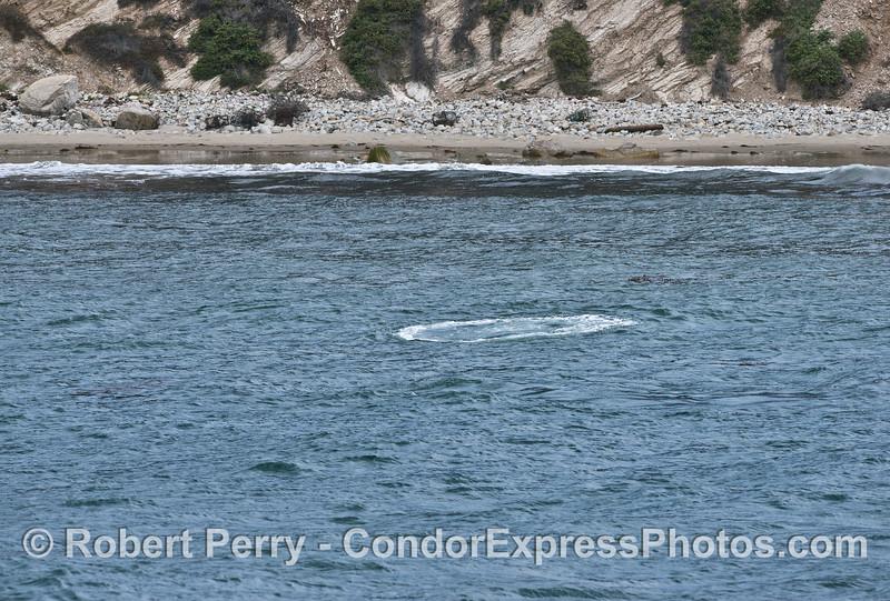 Gray whale bubble blast