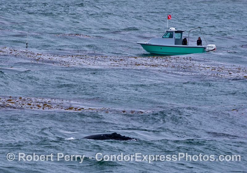 A small Radon dive boat with UCSB researchers is moored in the giant kelp forest as a gray whale passes by closely.