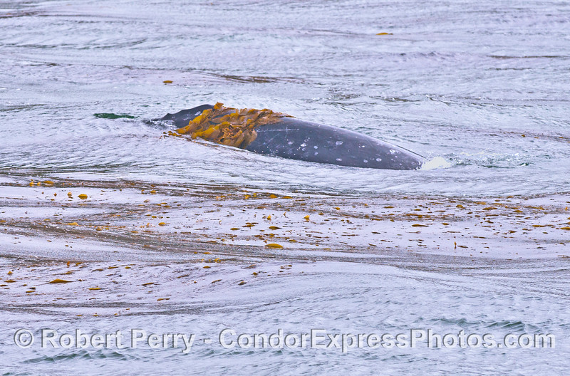 Gray whale in the giant kelp forest