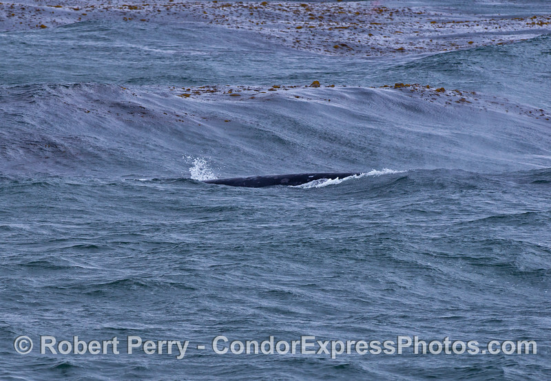 Waves in the kelp forest and a gray whale in the midst.