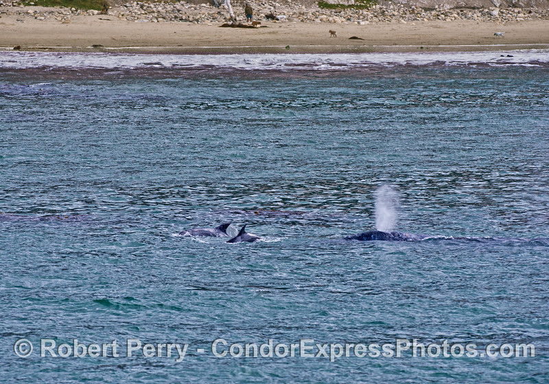 Beach, man, dog, bottlenose dolphins and a spouting gray whale