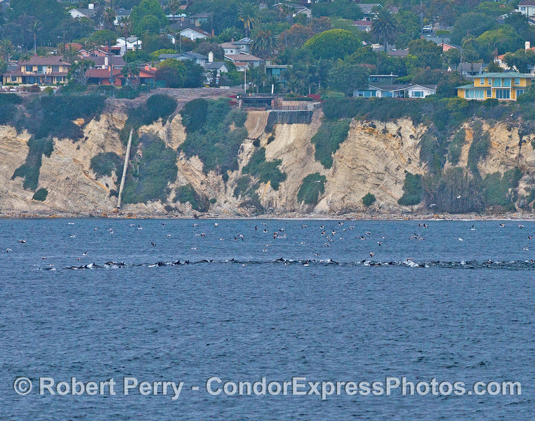 A line of long-beaked common dolphins and their associated sea birds - near the shore in Santa Barbara California