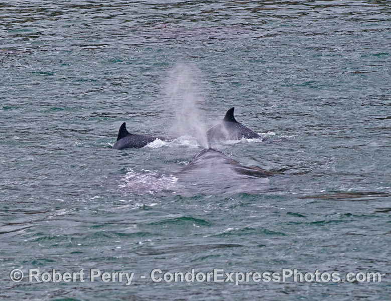 Two bottlenose dolphins lead a gray whale calf around the surf zone