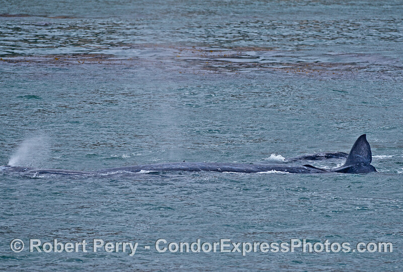 Two gray whale mothers and calves