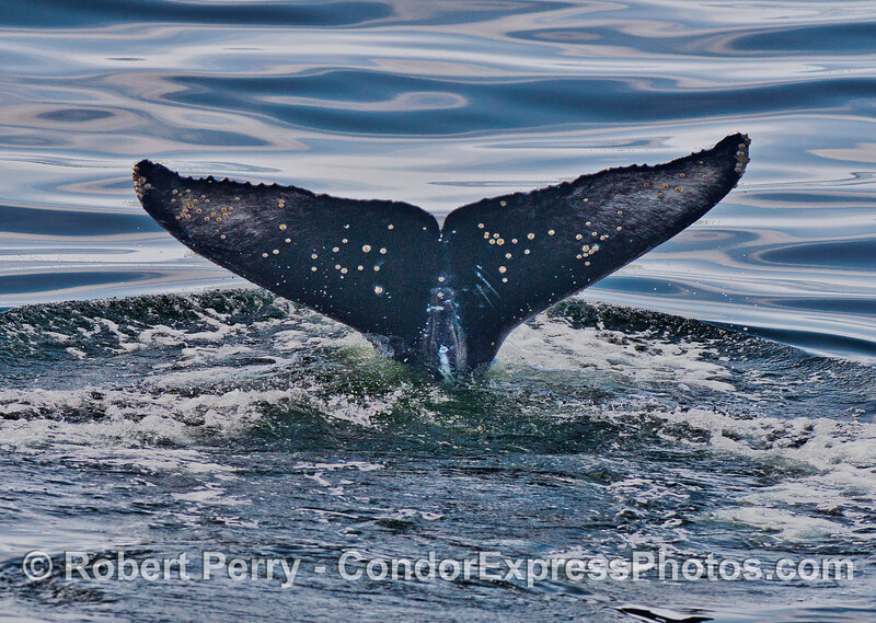 The underside of a humpback whale tail fluke.