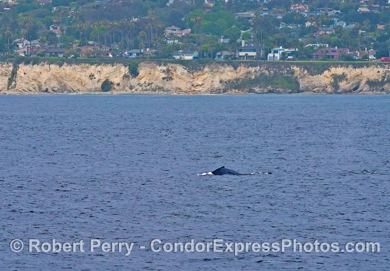 A humpback whale calf near Shoreline Park, Santa Barbara