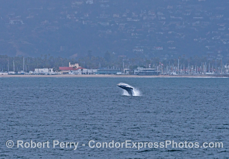 Image 1 of 2:  a humpback whale calf breaches near Santa Barbara Harbor