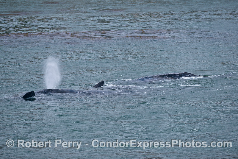 Two gray whale mothers and calves stop for some interaction in shallow water
