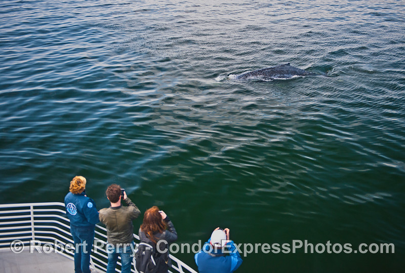 Whale fans on the Condor Express get a great look at a very friendly humpback whale